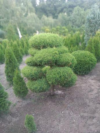 Jałowiec, formowane drzewka, krzewy ozdobne