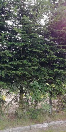 Gałęzie jodły duża ilość