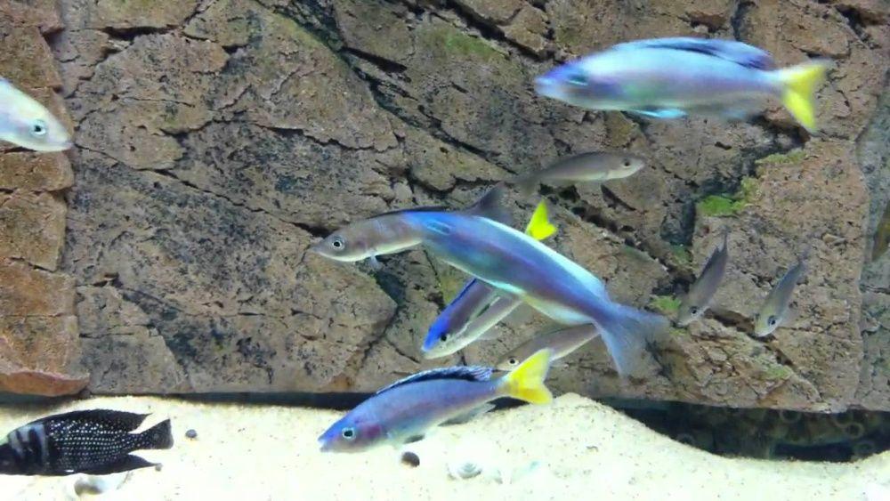 Tanganika Cyprichromis leptosoma mpulungu elblag Elbląg - image 1