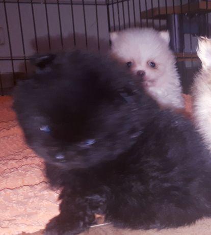 Pieski Szpica Miniaturowego do Rezerwacji
