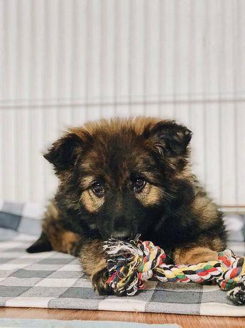Квартирная миниатюрная овчарка, щенок, щенки до 15 кг, щенята киев