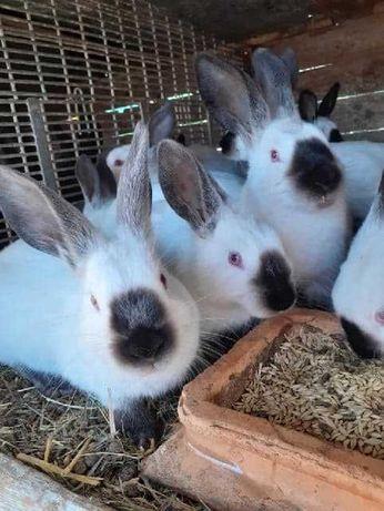 Sprzedam króliki kalifornijskie
