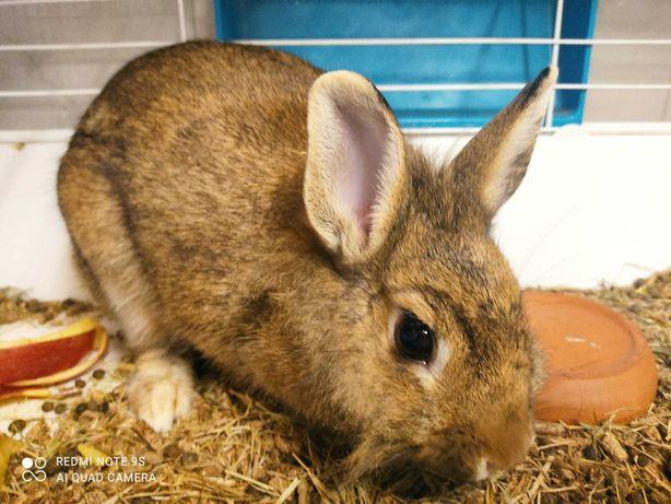 coelho anão + gaiola