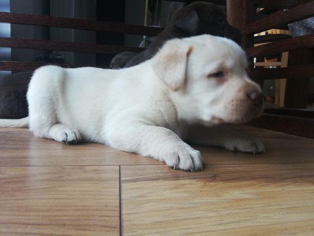 Labrador suczka biszkoptowa