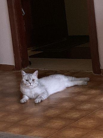 SOS! Убежал шотландский кот