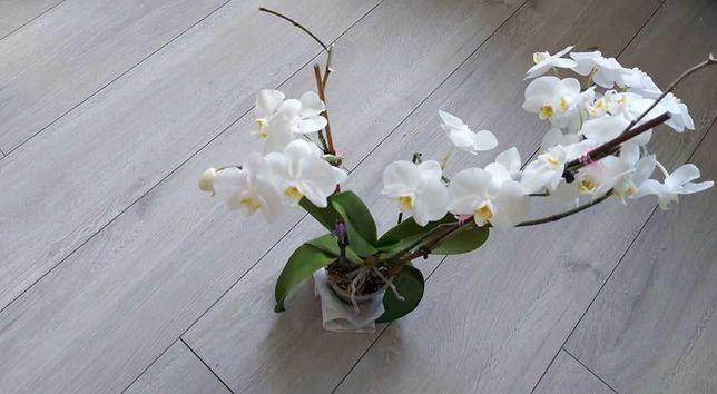 Kwiatek Storczyk