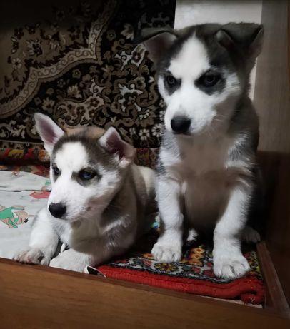 Голубоглазые щенки сибирской хаски