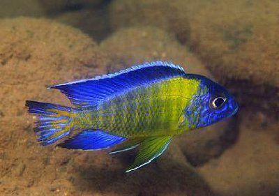 Piękna Aulonocara Blue Neon Pyszczak Malawi od ręki Gdańsk