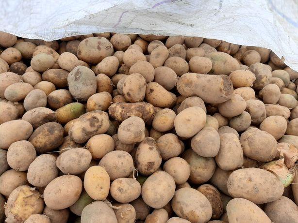 Sprzedam ziemniaki dla pasze dla bydła 150 za 1 tone