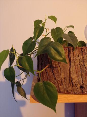Philodendron scandens filodendron pnący/zwisa niewymagający, półcień