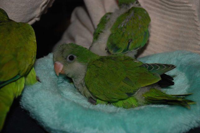 Популярний папуга квакер, повністю ручні малюки