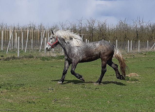 wałach Showman - koń rodzinny 155cm