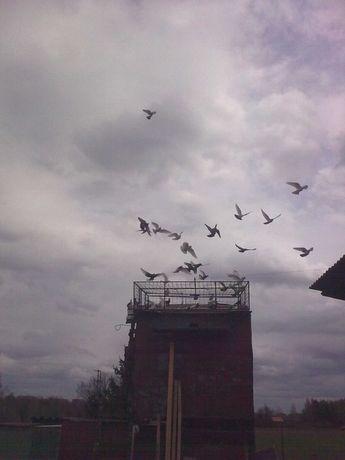 Gołębie lot 50 sztuk ganiane