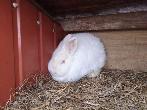Królik króliki Samica NB