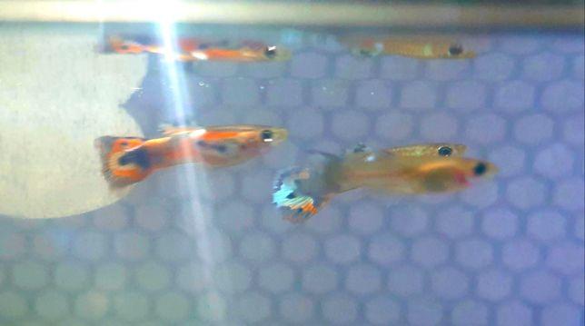 15 guppys endler tigre hibrido