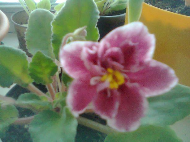 Обмен. Комнатные цветы- фиалка, циперус, бегония, хойя.