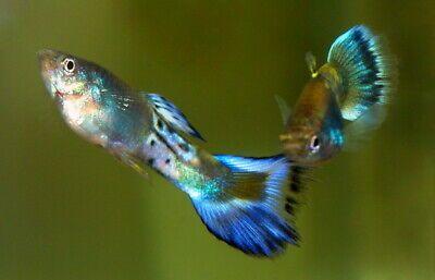 Gupik blue sapphihe elblag