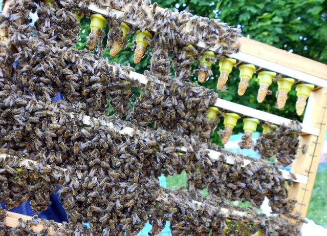 Пчеломатки Карника,Бакфаст