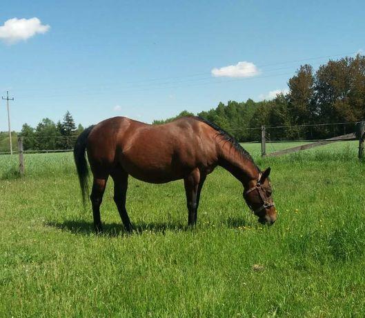 AQH klacz Quarter Horse