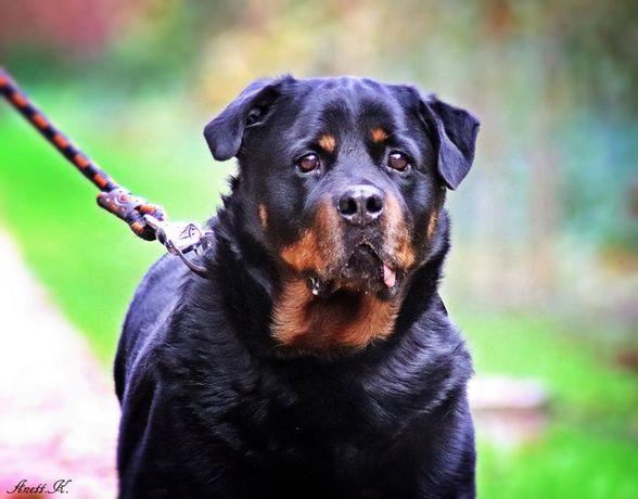 Borys - rottweiler szuka troskliwego domu