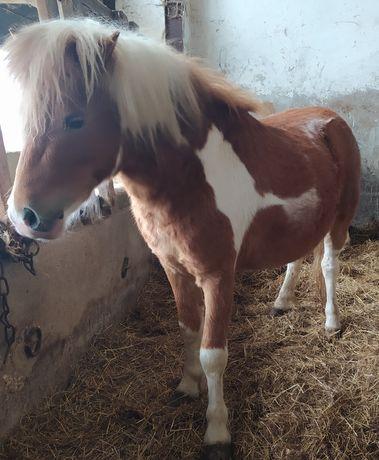 Konie   Kucyki szetlandzkie