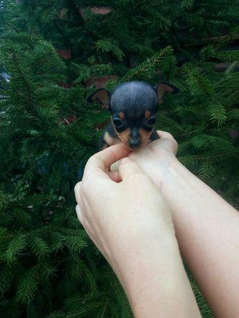 Мальчики Той-терьер, размер мини!
