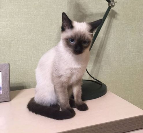 Сиамский котёнок или тайский