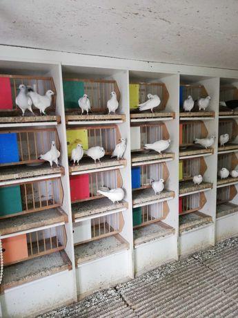Gołębie ozdobne różne rasy 50 szt