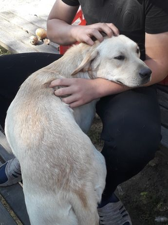 Labrador suczka odchowana roczna