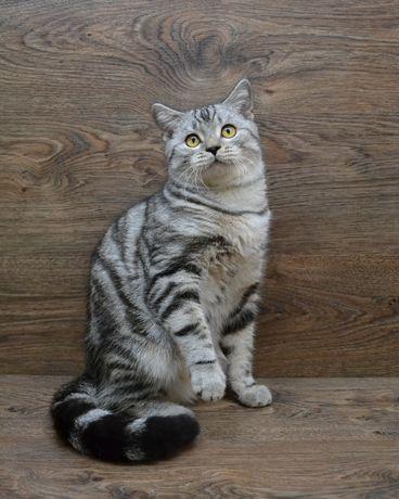 Шотландский котик серебристый мраморный. Котята