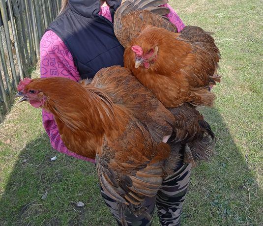 Яйця величних курей породи Брама інкубаційні