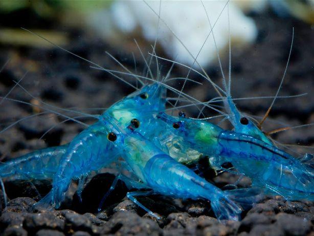 Krewetka Neocardina Blue Pearl