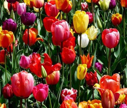 Тюльпаны  -  Акция 20шт за 10 грн  !!!