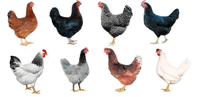 Młode kury nioski przed jajkiem