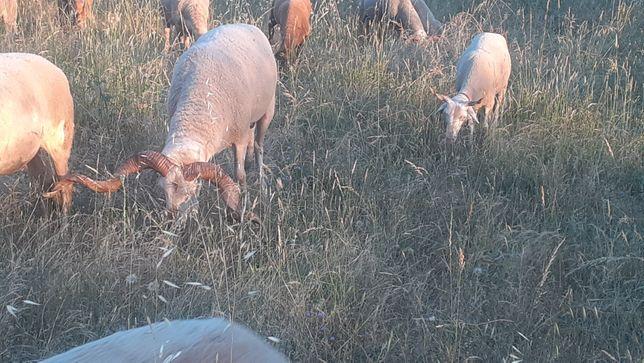 Vendo carneiro  raça bordaleira ou serra