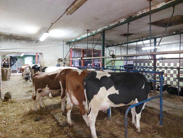 Krowy mleczne hf simental mleczny