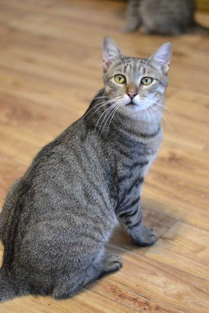 молодий котик смугастошубий красень 1р
