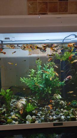 Peixinhos guppy jovens