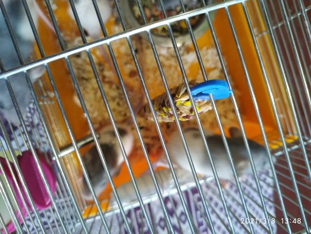 Крыса породы Дамбо