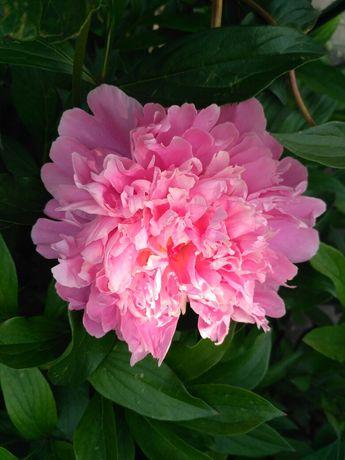 Розовый пион( молодой куст)