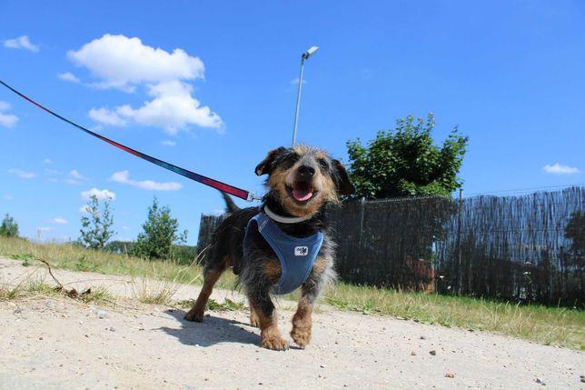 Frędzel jamnik szorstkowłosy adopcja schronisko pies