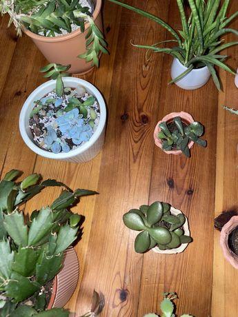 Rośliny sukulenty