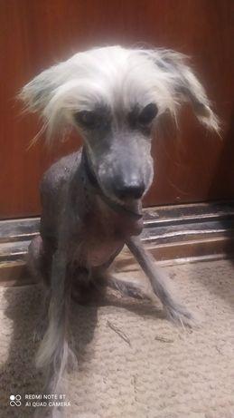 Разыскивается собака породы лысая Китайская хохлатая