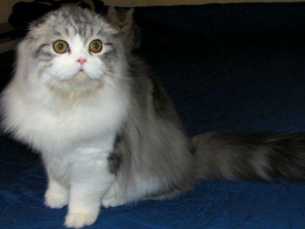 Вислоухий котик из питомника на вязку