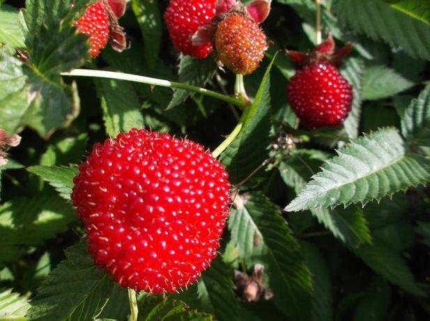 Malinotruskawka sadzonki 3 letnie - owoc 5 cm - Deserowy - Słodki!