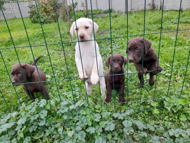 Labradory czekolada I biszkopt
