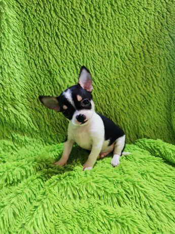 Fantástico Macho Chihuahua Miniatura