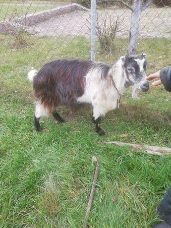 Продам козу зааненской породи, буде другим окотом,в лютому,