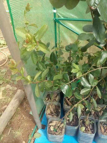 Plantas araças amarelo vermelho e roxo