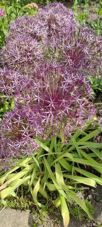 Czosnek ozdobny - roślina, kwiat ogrodowy